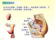 女性标准殖器官
