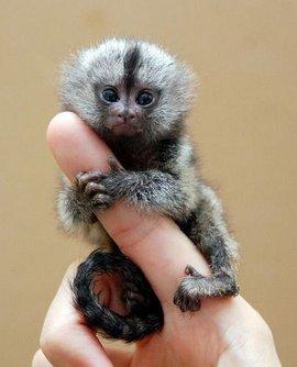 狨科,倭狨属 倭狨是世界上最小的猴,生活在南美洲亚马逊河上游的热带