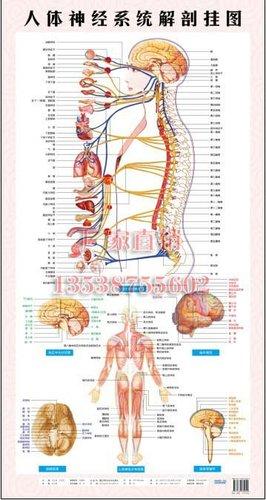 大脑解剖3d示意图 大脑小脑的位置解剖图 大脑解剖立体结构图片