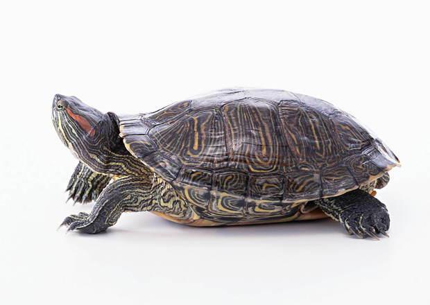 你这是:巴西红耳龟 巴西红耳龟也叫巴西龟,红耳龟,可爱龟,秀丽锦龟