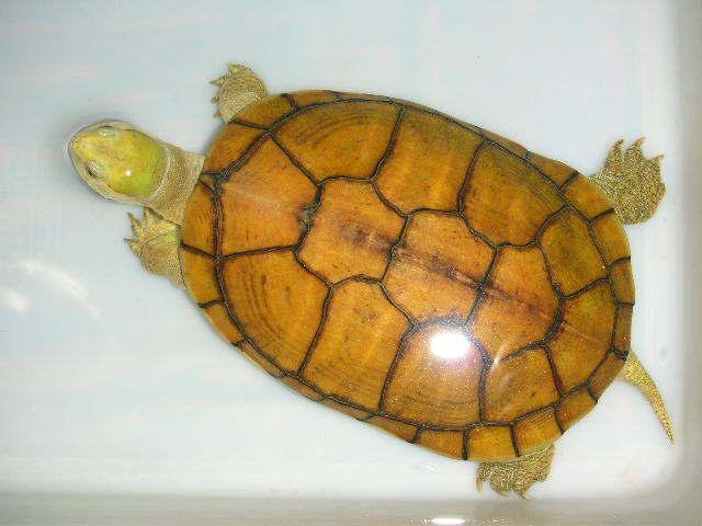 黄喉拟水龟苗的饲养_黄喉水龟价格-