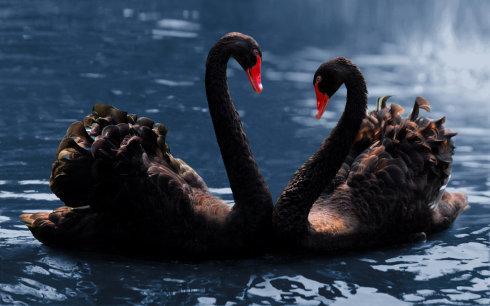 黑天鹅实拍(罗红摄影作品)
