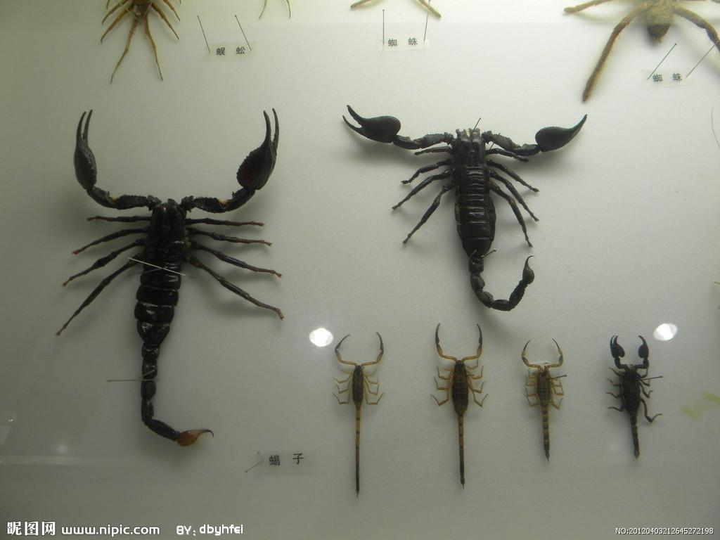 蝎子属国家重点保护动物,一只蝎子一年可捕杀蝗虫等有害昆虫一万多只