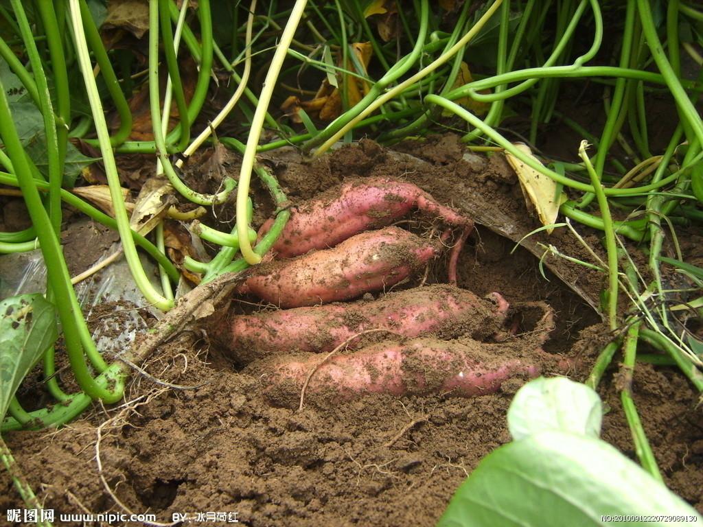 红薯植物结构图