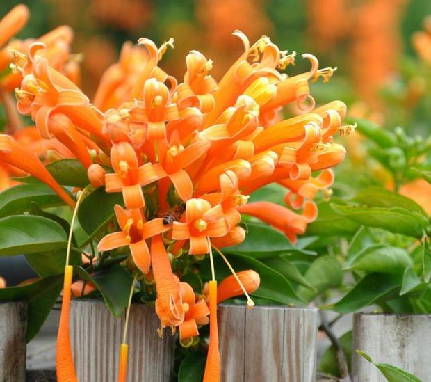 子房圆柱形,密被细柔毛,花柱细,柱头舌状扁平,花柱与花丝均伸出花冠筒