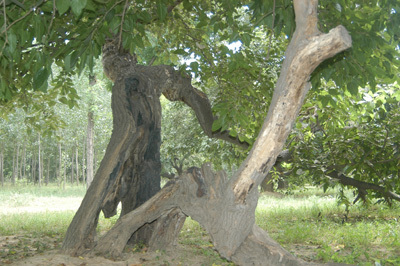 2米,胸径75厘米,冠幅14米,树冠呈半圆伞形,干枝粗壮,叶幕厚重,裸根十