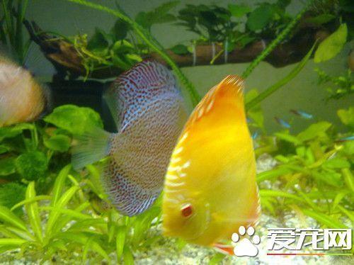 野生七彩神仙鱼图片