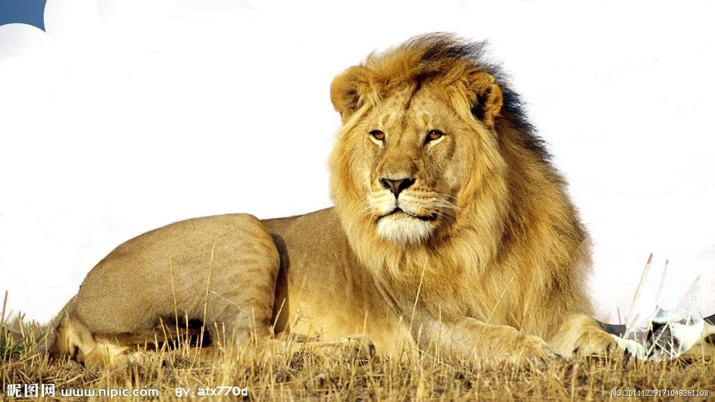 没鬃毛大狮子简笔画