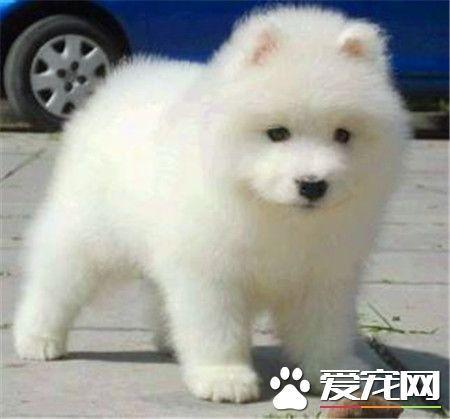 纯种萨摩耶犬特征 纯种萨摩耶犬头部呈楔形